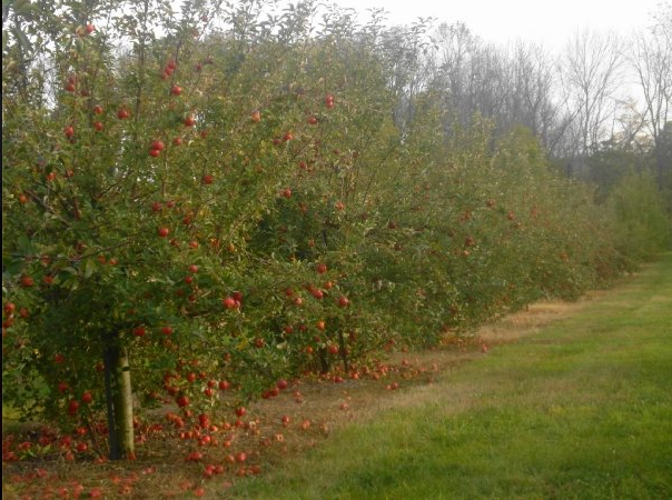 Apple Picking in the Fall